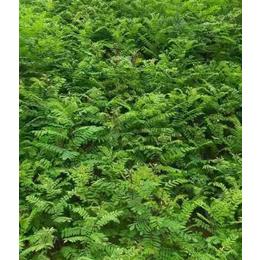 0.7紫穗槐苗价格-合绿家庭农场品质保证-吴忠紫穗槐苗