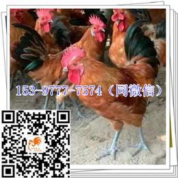 陕西血毛土鸡苗孵化场报价公鸡