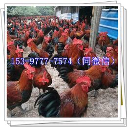 延安红羽鸡苗厂家批发公鸡