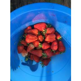 四季草莓苗种植|许昌草莓苗|乾纳瑞农业