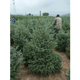 甘肃云杉主产地在定西-云杉一米2米3米4米5米