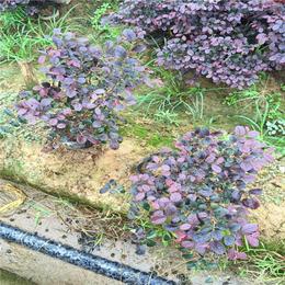 红花继木球-江西红花继木-绿林苗木提供高品质苗(查看)