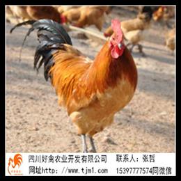 黑龙江鸡苗公司批发养殖