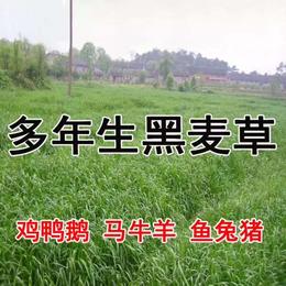 进口草坪种植天津港进口黑麦草种子狗牙根种子高羊茅种子价格