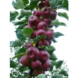 优质龙丰果树苗价格-无化肥山丁子嫁接龙丰苹果苗批发