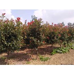 10公分红叶石楠价格-红叶石楠-大地苗圃基地