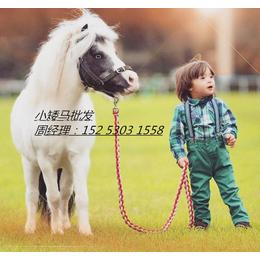 德保矮马的饲养与管理