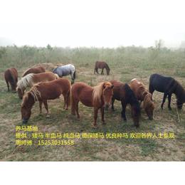 改良国产马匹 改良马什么价位