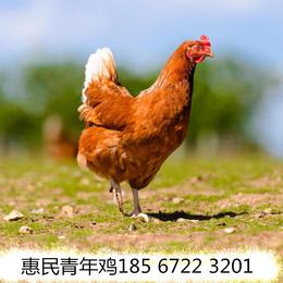 海兰褐青年鸡 60日龄海兰褐青年鸡送货上门