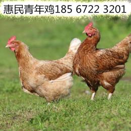 张家界大午金凤青年鸡养殖基地 60天大午金凤青年鸡报价