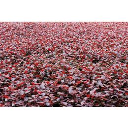 红花继木球去哪批发-红花继木球-大地苗圃品种多样(查看)