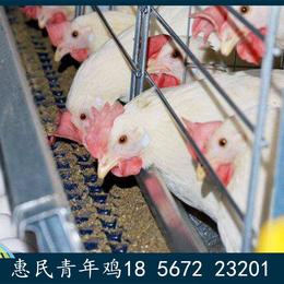 周口农大3号青年鸡的断喙技术 农大3号青年鸡规模化养鸡场