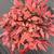 泰安东枫园林-火焰南天竹-火焰南天竹枝叶密集缩略图1