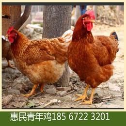 营口海兰褐青年鸡鸡舍管理要点 海兰褐青年鸡养殖技术要点