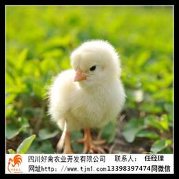 南充仪陇青脚麻土鸡苗孵化场的批发价禽类