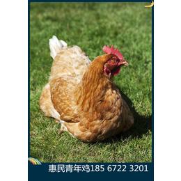 鹤壁青年鸡养殖场鹤壁柳江青年鸡养殖基地