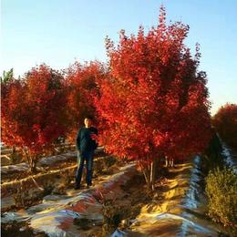 泰安东枫(图)-丛生美国红枫造景效果突出-重庆丛生美国红枫