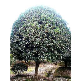 【长林农场】货品齐全(图)-桂花树的特点-江苏桂花树